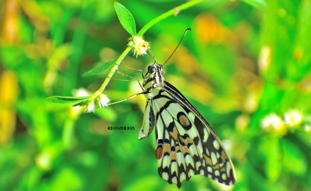 COMMON LIME BUTTERFLY 2