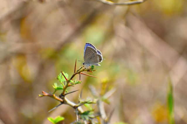 PLAIN CUPIT butterfly 1