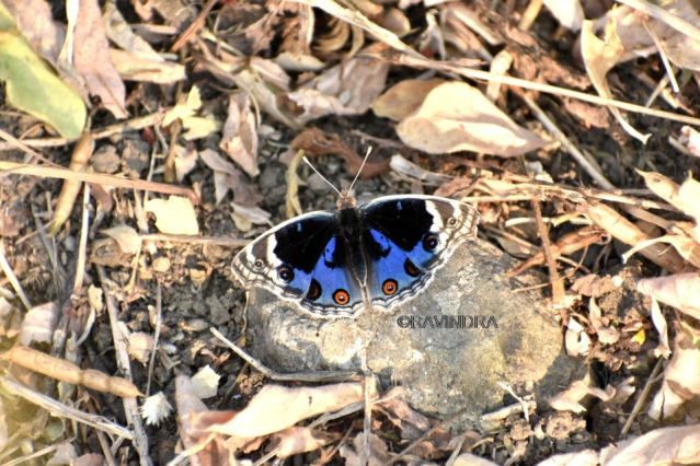 BLUE PANSY 10