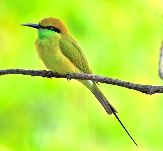 GREEN BEE EATER 12