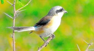 SHRIKE BIRD (BUTCHER BIRD) 6