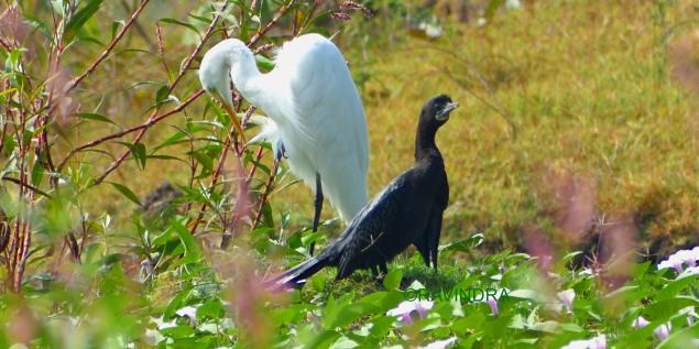 White Egret & Cormorant