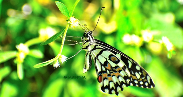 COMMON LIME BUTTERFLY 5