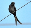 Black drongo BIRD 3