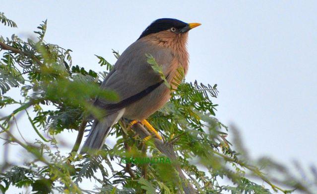 BRAHMANI MYNA BIRD 1