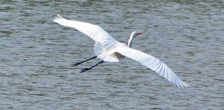 white egret 1