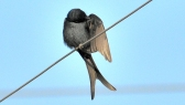 Black drongo BIRD 4