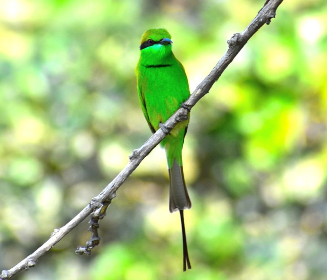 GREEN BEE EATER 9