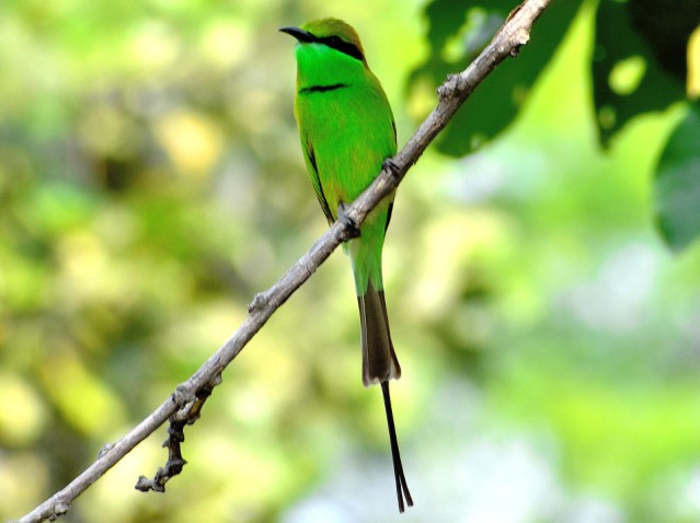 GREEN BEE EATER 6