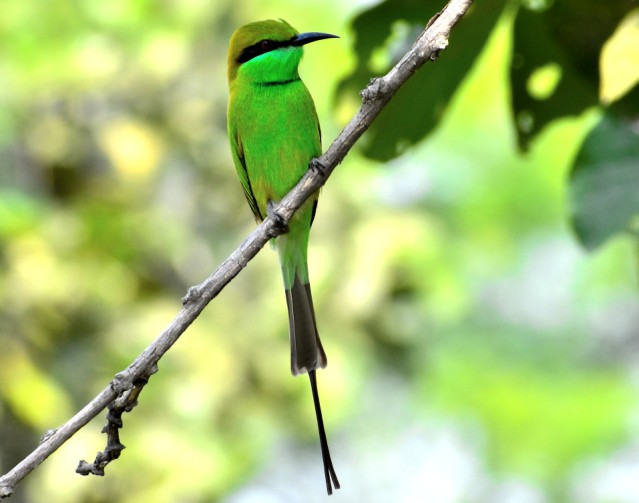 GREEN BEE EATER 7