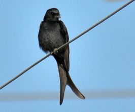 Black drongo BIRD 5