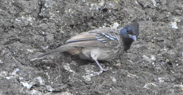 BULBUL BIRD 1