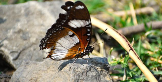 DANAID EGGFLY BUTTERFLY 4