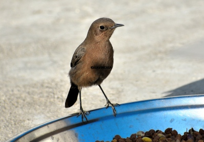 BROWN ROCK CHAT 11