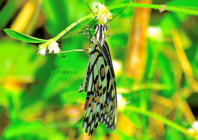 COMMON LIME BUTTERFLY 1