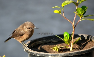 BROWN ROCK CHAT 2