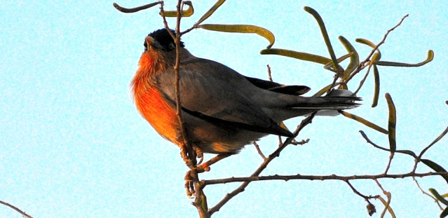 BRAHMANI MYNA BIRD 6