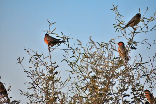 BRAHMANI MYNA BIRD 2