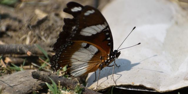 DANAID EGGFLY BUTTERFLY 2