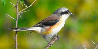SHRIKE BIRD (BUTCHER BIRD) 8