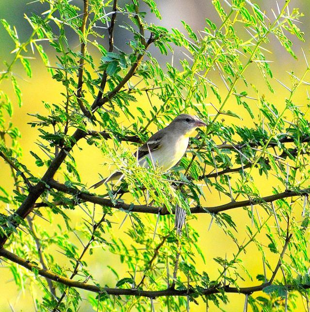 IORA BIRD 1