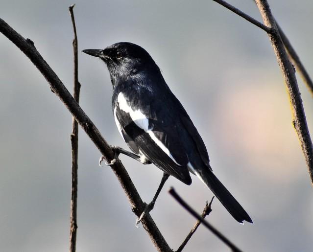 MAGPIE ROBIN BIRD 3