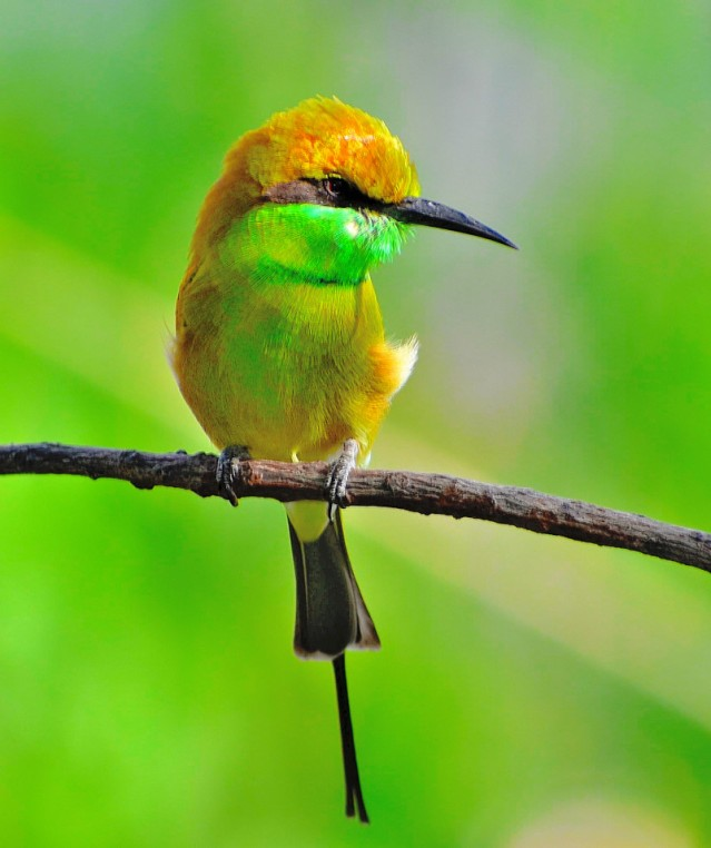 GREEN BEE EATER 17