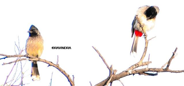 BULBUL BIRD 7