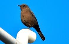 BROWN ROCK CHAT 13