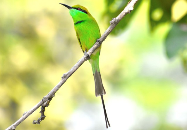 GREEN BEE EATER 4
