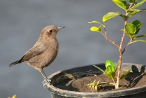 BROWN ROCK CHAT 4