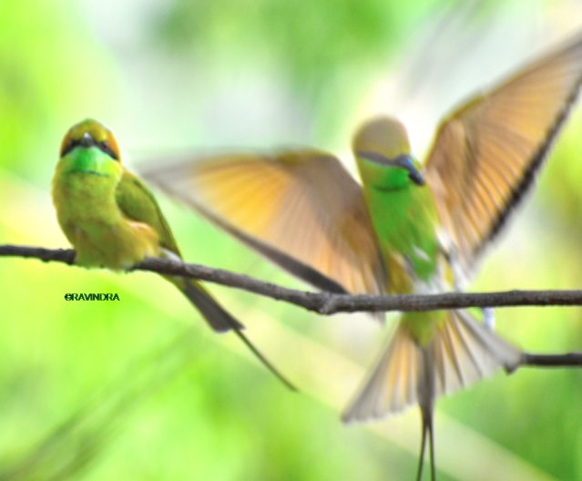 GREEN BEE EATER 18