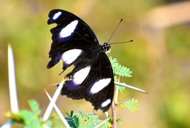 DANAID EGGFLY BUTTERFLY 3