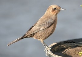 BROWN ROCK CHAT 6