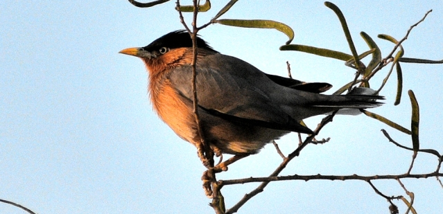 BRAHMANI MYNA BIRD 8