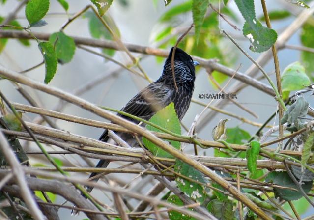 BULBUL BIRD 6