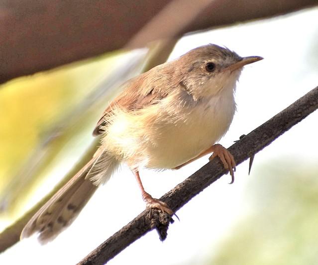 prinia bird 1