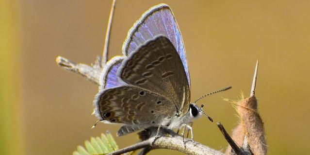 PLAIN CUPIT butterfly 5