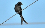 Black drongo BIRD 2