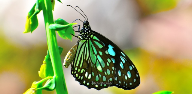 BLUE TIGER BUTTERFLY 1