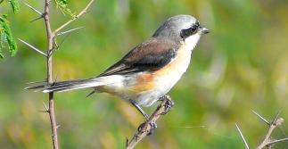 SHRIKE BIRD (BUTCHER BIRD) 5