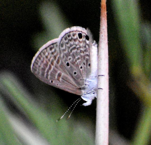 GRAM BLUE BUTTERFLY 3