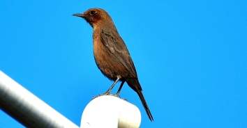 BROWN ROCK CHAT 15