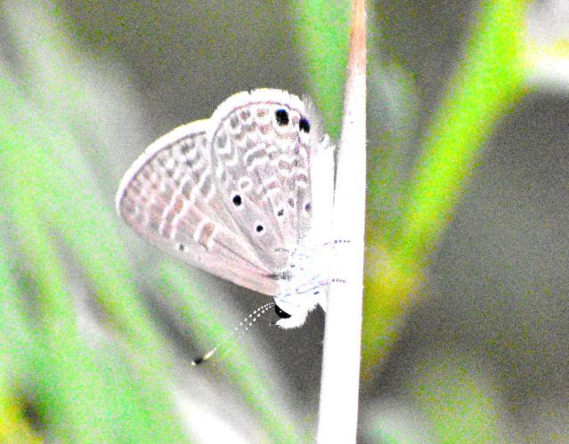 GRAM BLUE BUTTERFLY 1