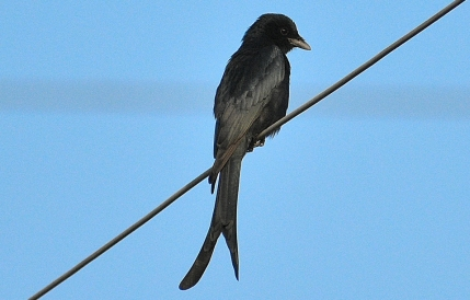 Black drongo BIRD 7