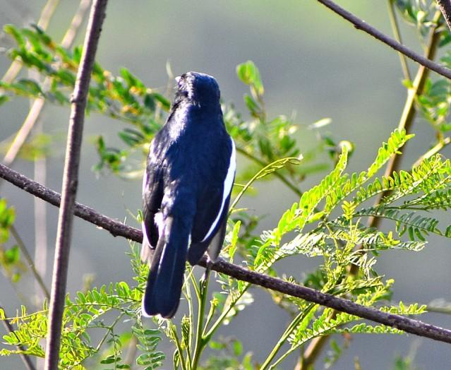 MAGPIE ROBIN BIRD 1
