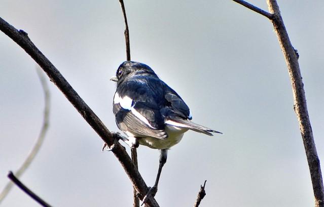 MAGPIE ROBIN BIRD 2