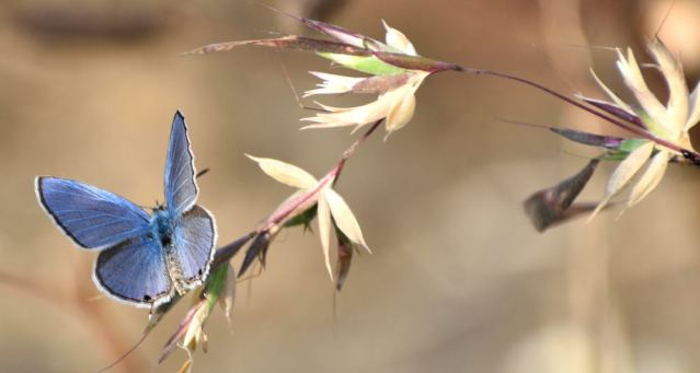 PLAIN CUPIT butterfly 6
