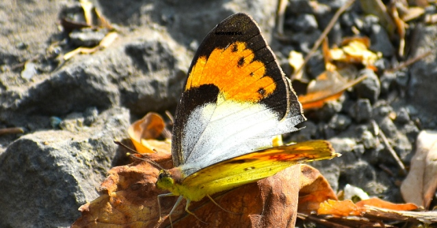 YELLOW TIP BUTTERFLY 1