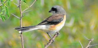 SHRIKE BIRD (BUTCHER BIRD) 3